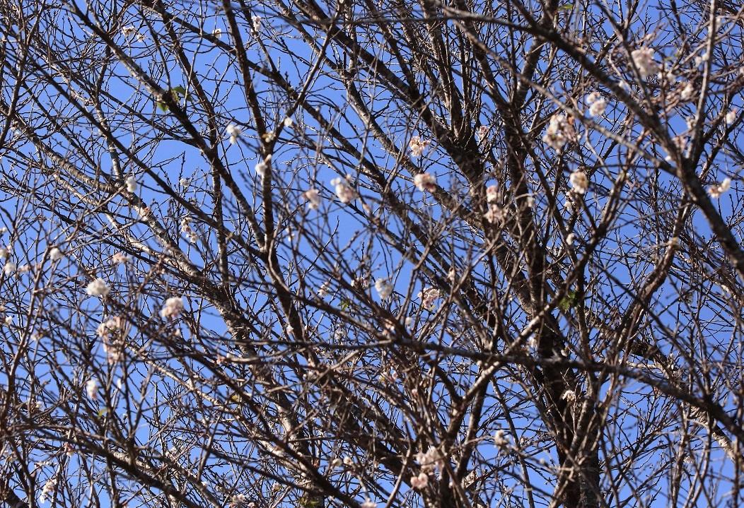 ブログ 桜が咲いている.jpg