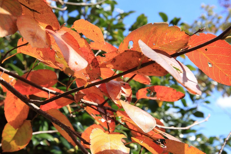 ブログ 庭木も黄葉.jpg