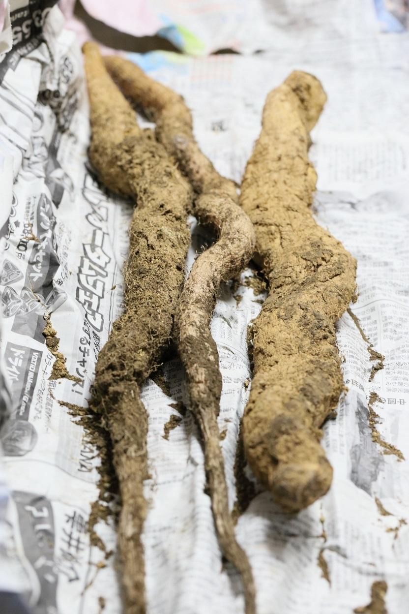 自然薯.jpg