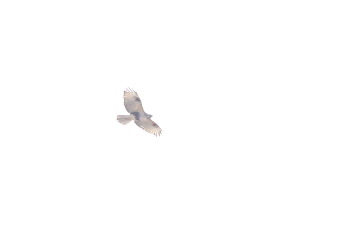 曇り空の遠くで旋回するノスリ.JPG