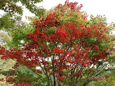 1720-紅葉