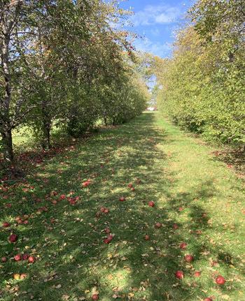 apples1901.jpg