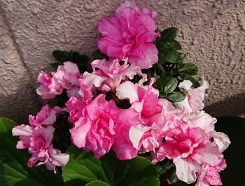 隣んちの花