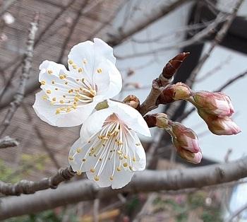 咲きかけ桜桃