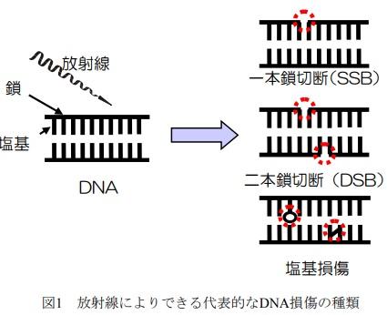 DNA損傷