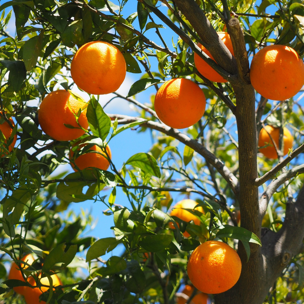 ハーブセラピストが解説!ハーブティーの種類と効果「オレンジ」
