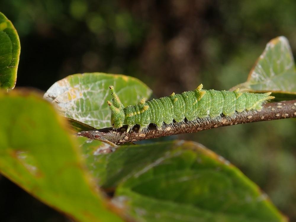 ゴマダラチョウ2幼虫