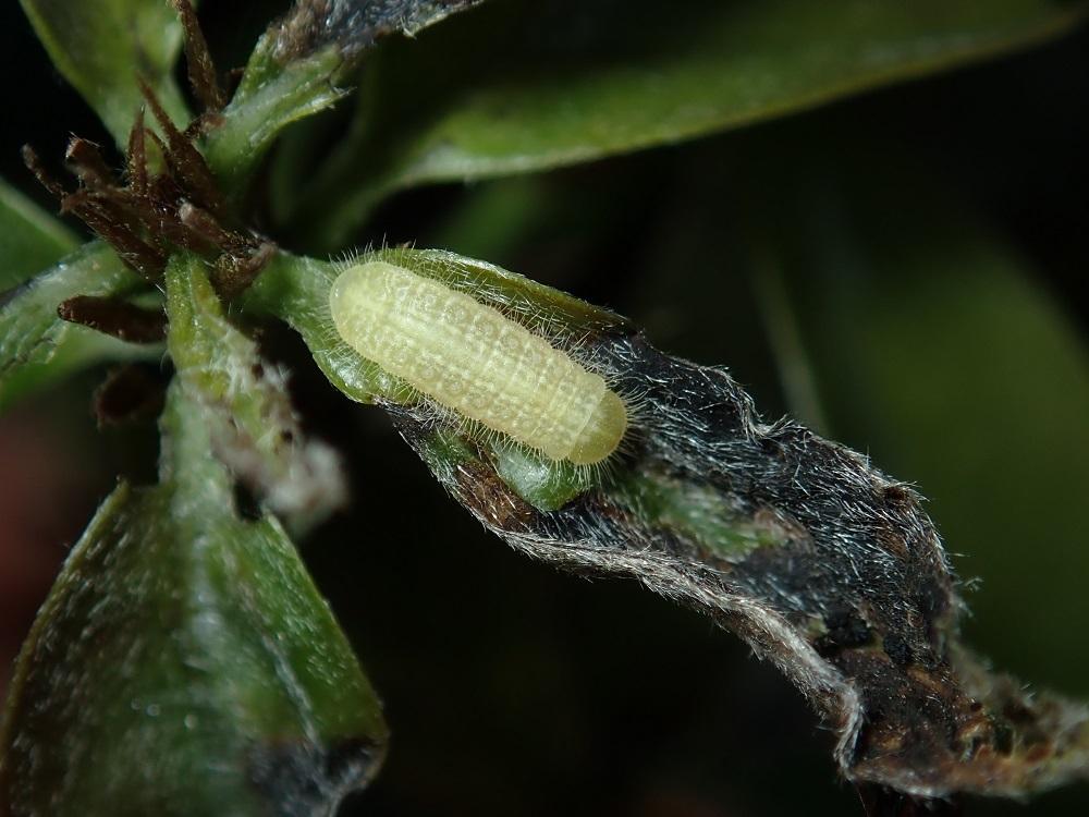 ムラサキシジミ3幼虫