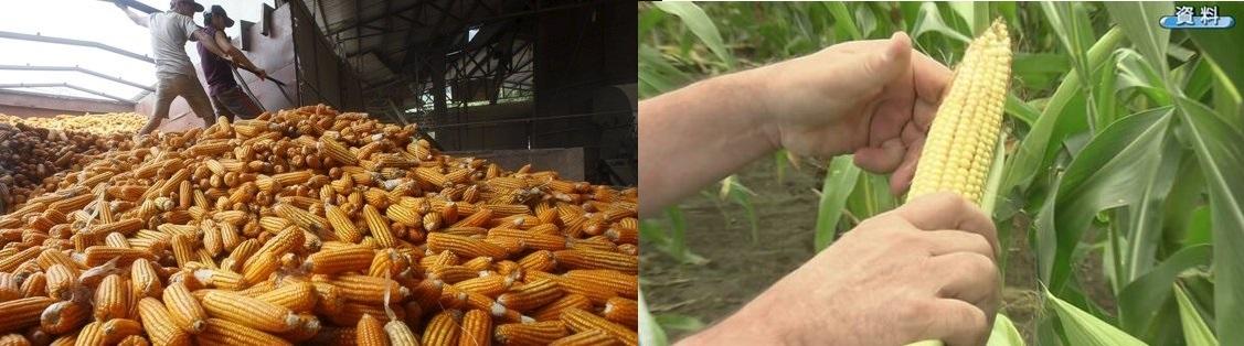 数百億円分の米国トウモロコシ