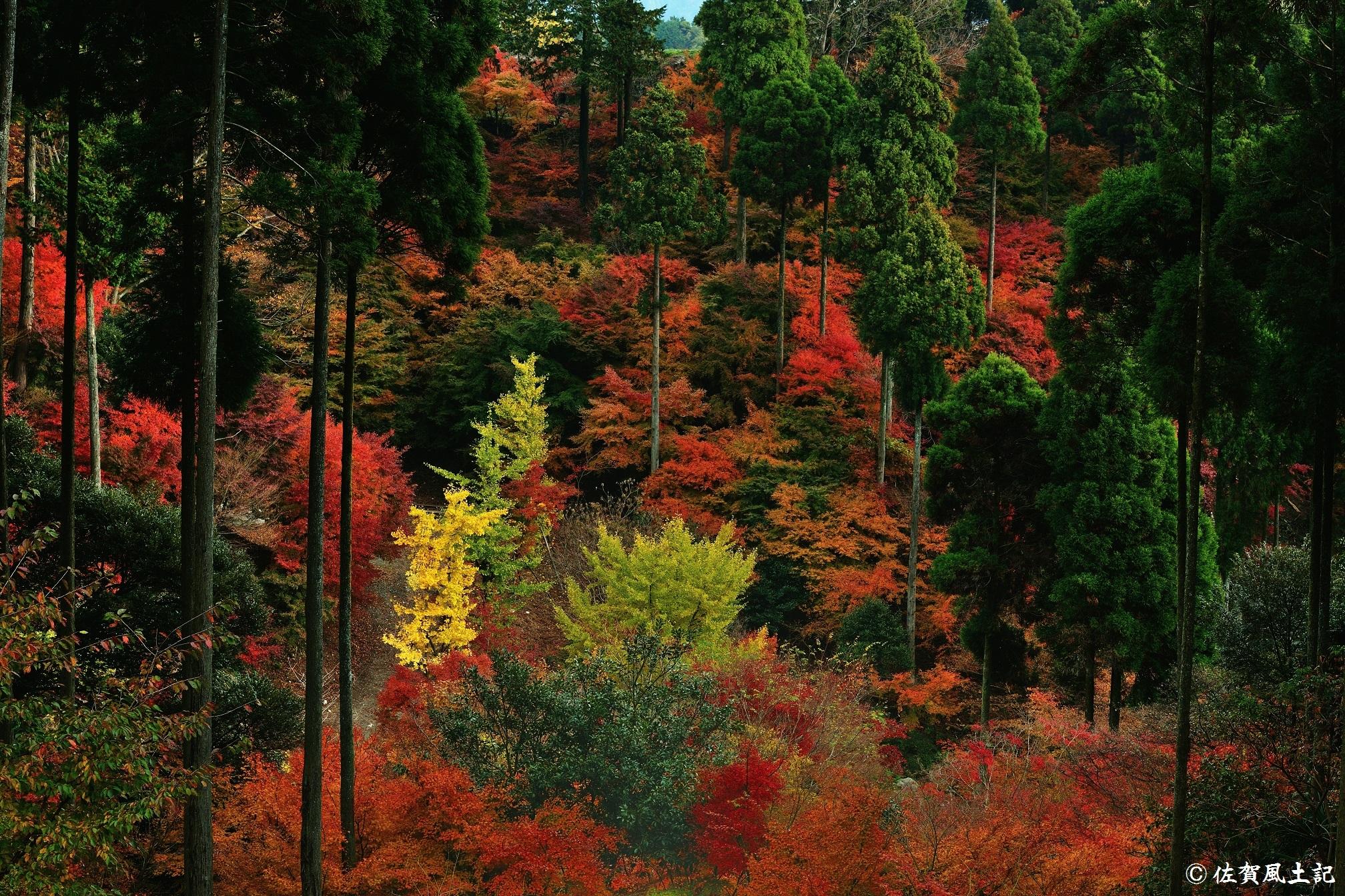 紅葉爛熟之景