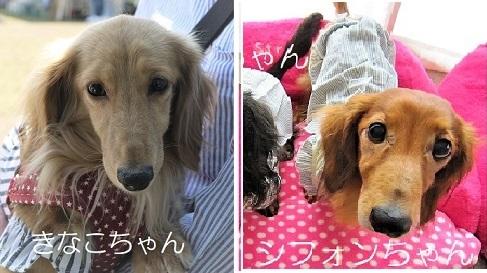 きなこちゃん ダックス - コピー - コピー
