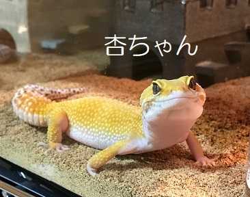 杏ちゃん ヒョウモントカゲモドキ