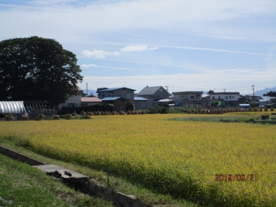 R109稲刈り5