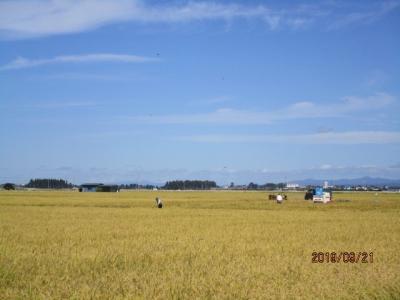 R109稲刈り6