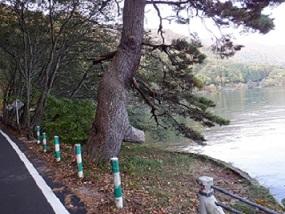 湖畔の松の木