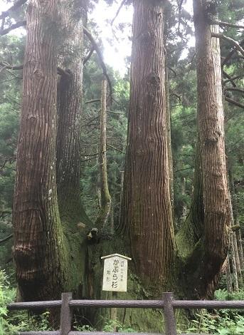 かぶら杉1