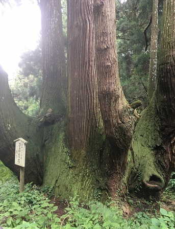 かぶら杉2