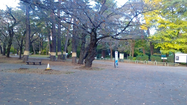 大宮公園の松にこも20191120