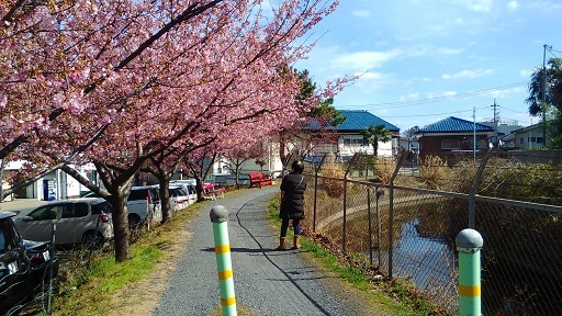 見沼の河津桜20200219