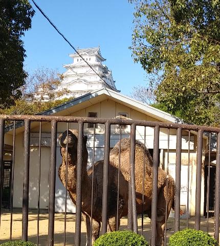 姫路城とらくだ