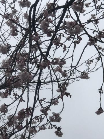 田口不動産 行田 吹上 2020 桜開花