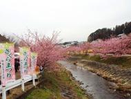 020215花川河津桜 (1)1
