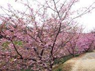 020215花川河津桜 (4)4