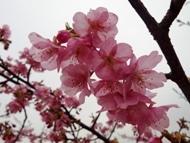 020215花川河津桜 (15)15
