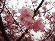 020215花川河津桜 (16)16