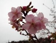 020215花川河津桜 (18)18