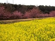020215花川河津桜 (20)20