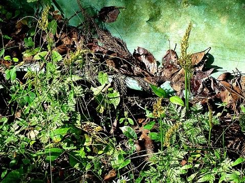 2-4.フユノハナワラビの群生191026不動の森