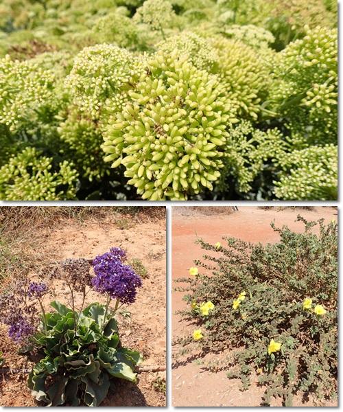 3Pカイザリアの植物