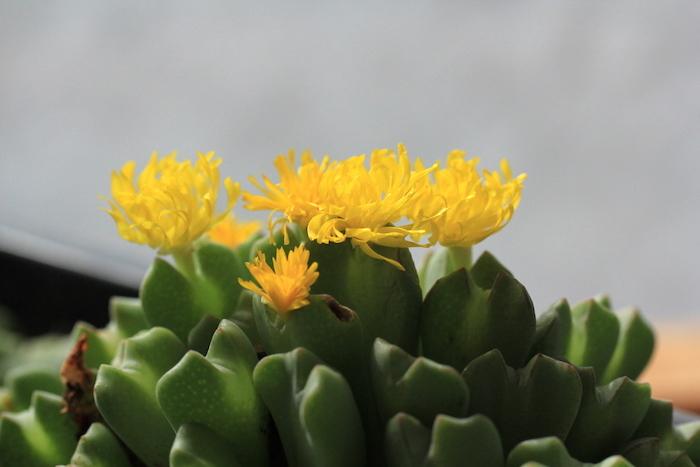 コノフィツム・小菊の舞
