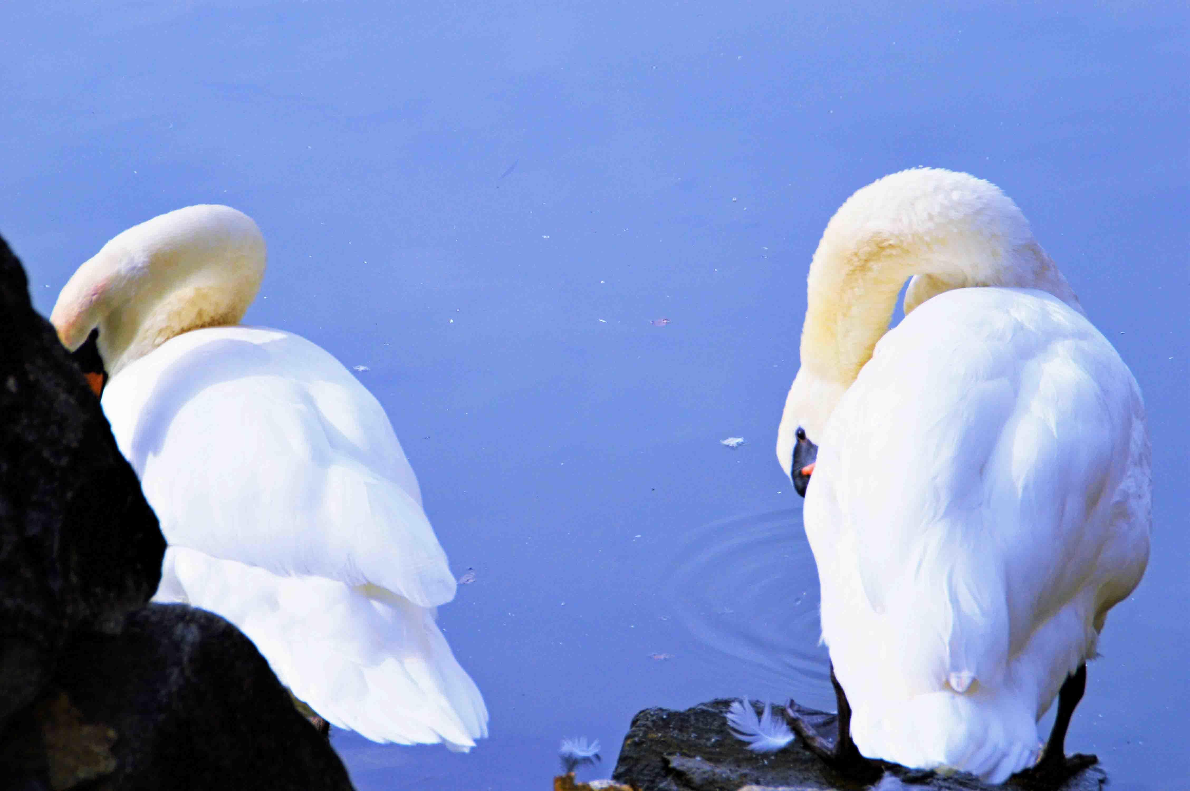 松本城の白鳥
