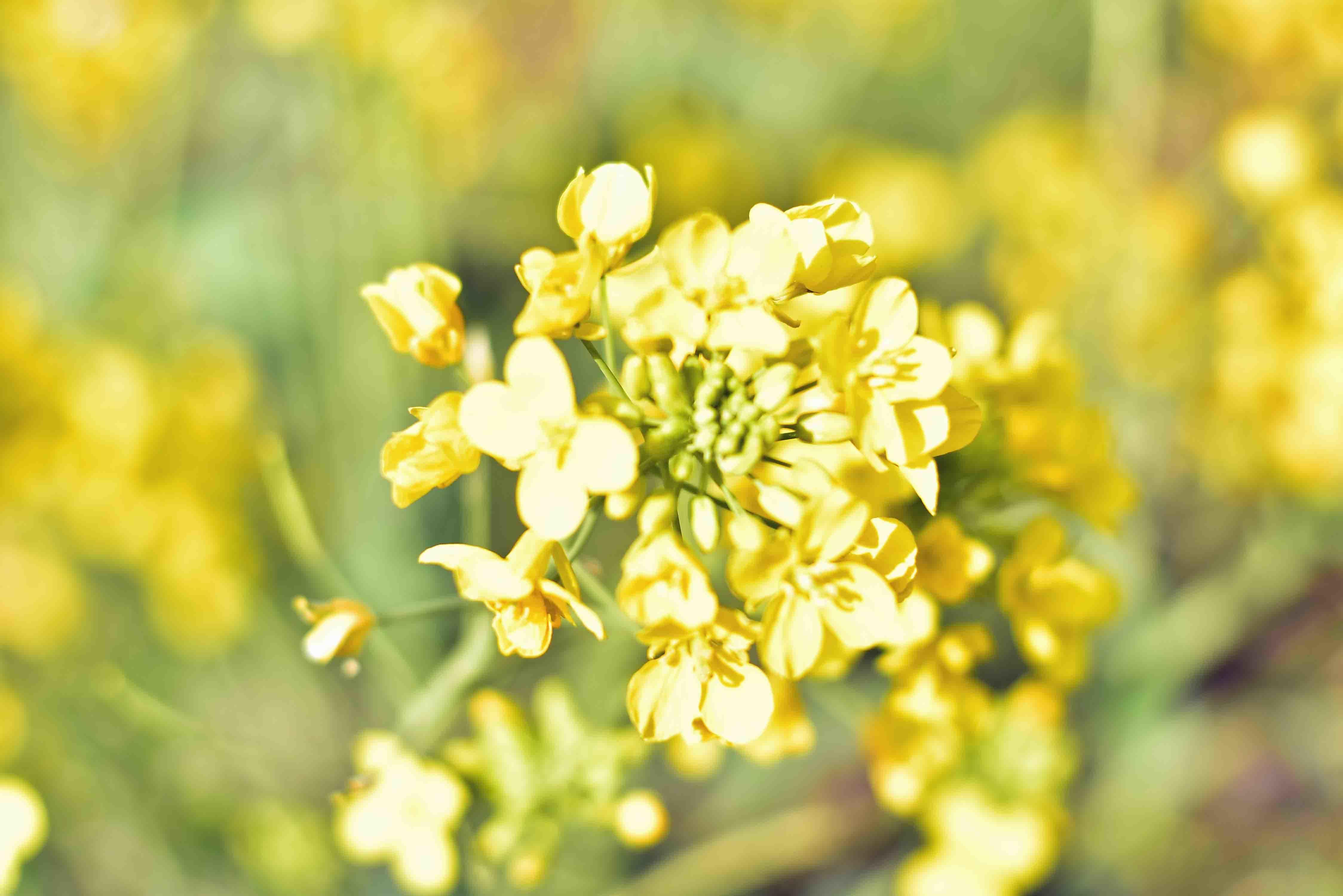スカイ公園の菜の花