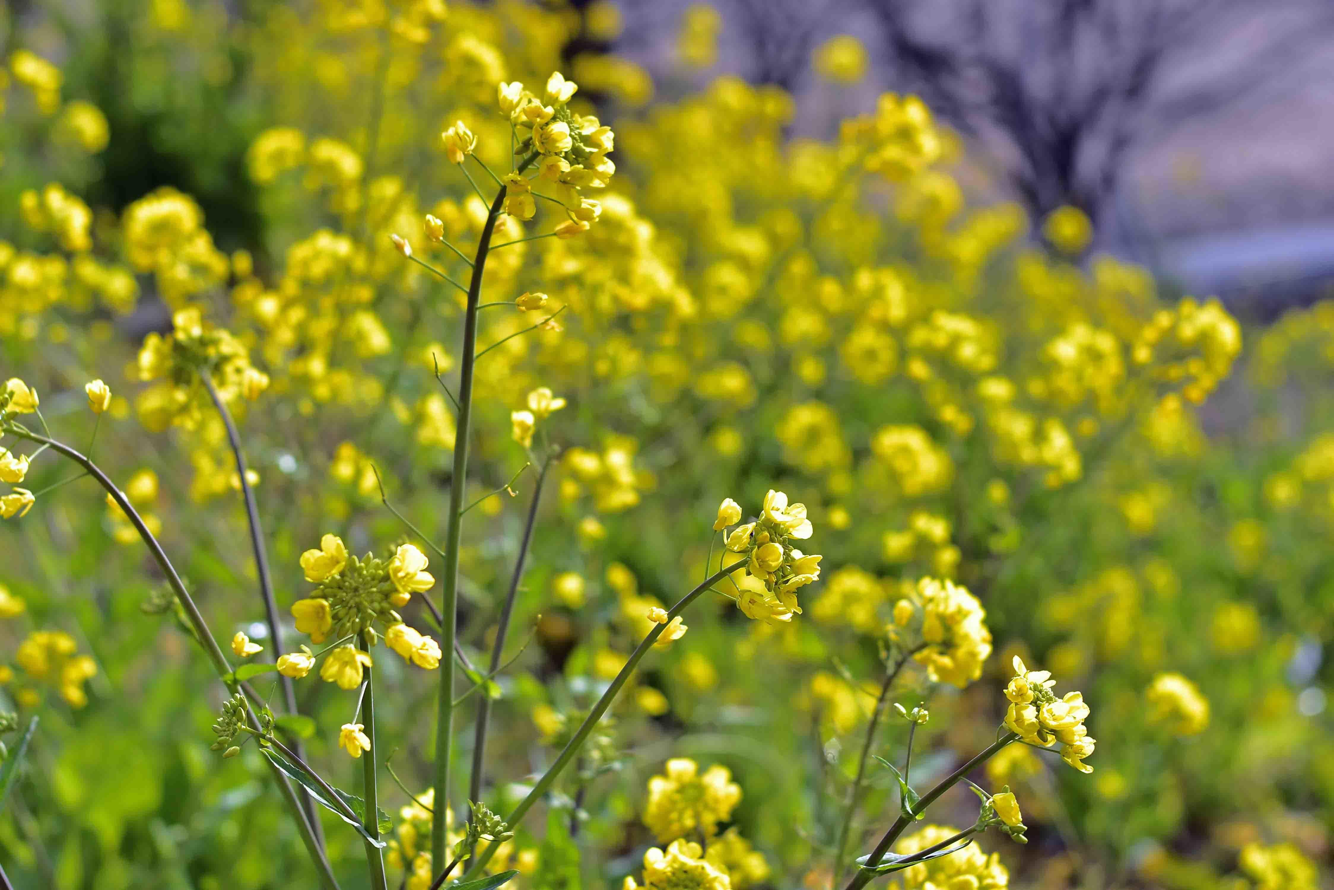 スカイ公園の菜の花2