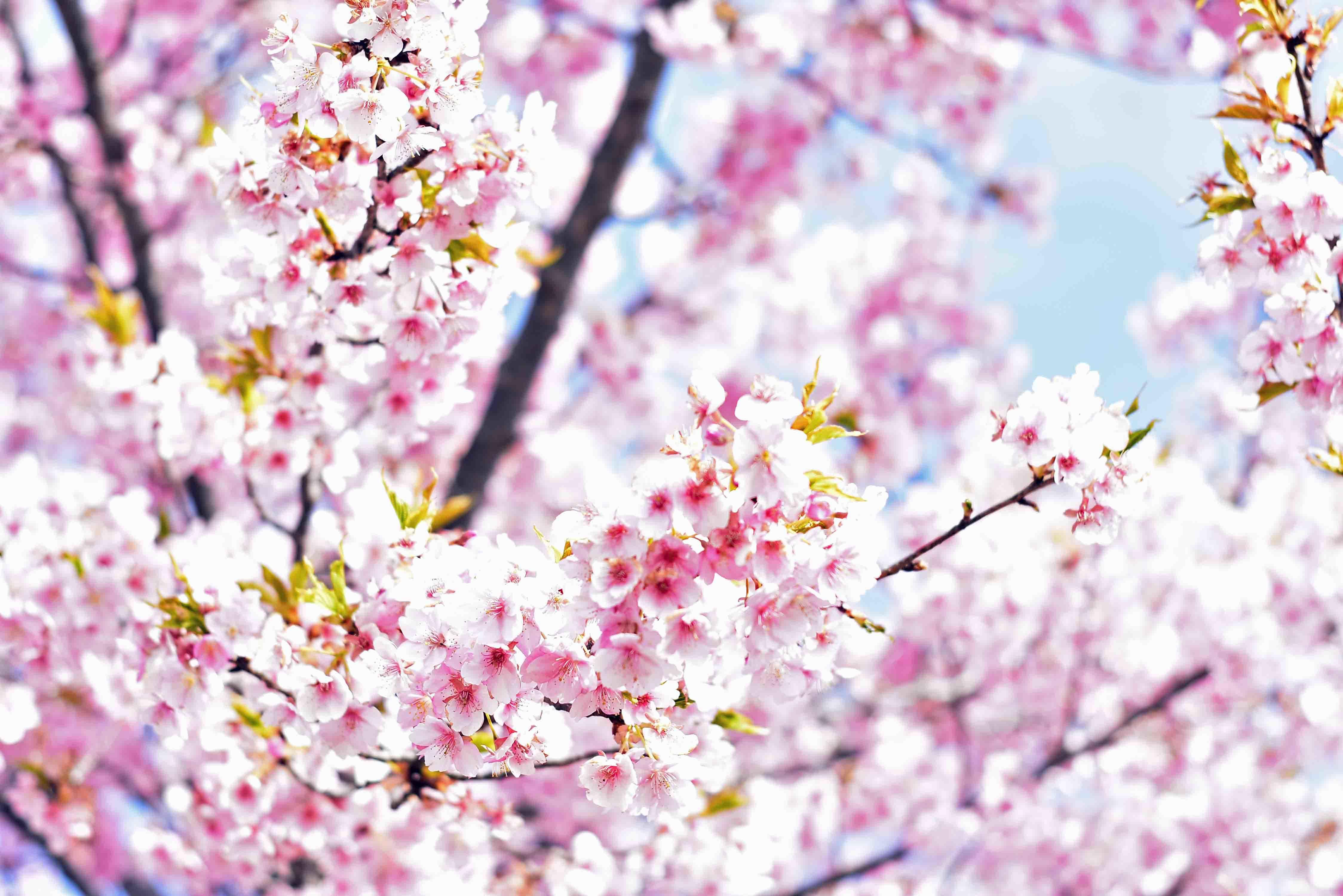 スカイ公園の桜