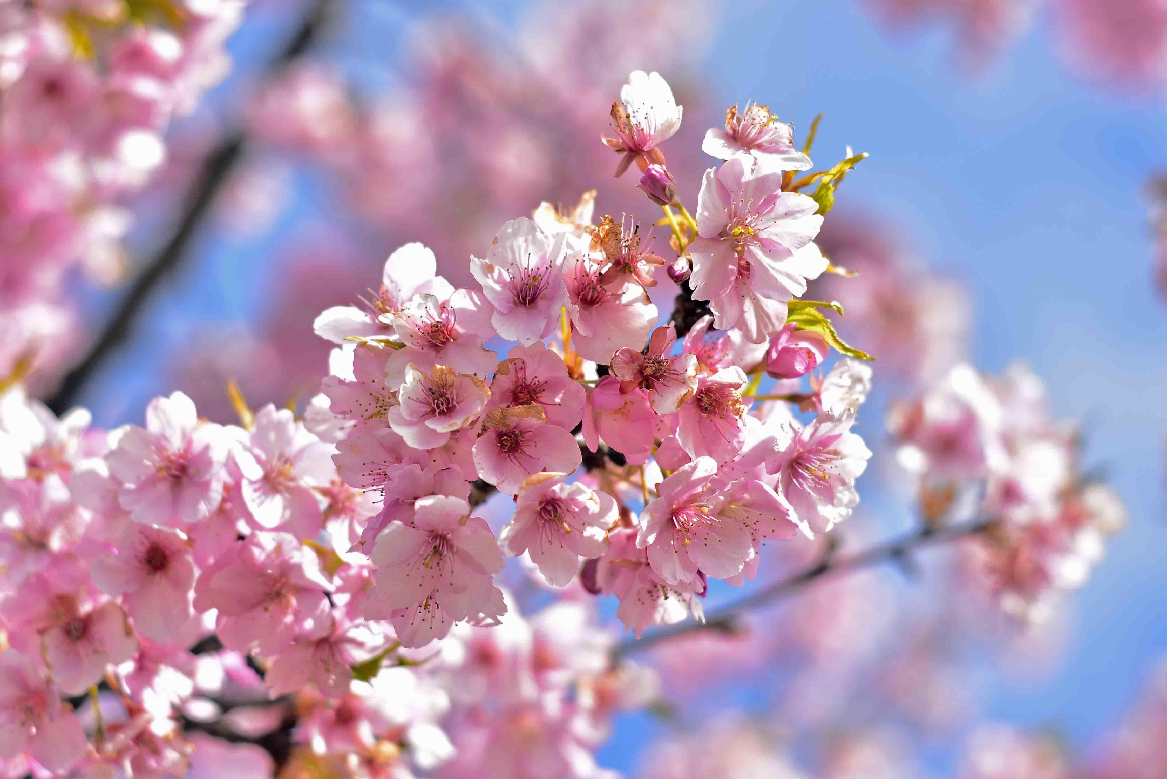 スカイ公園の桜2