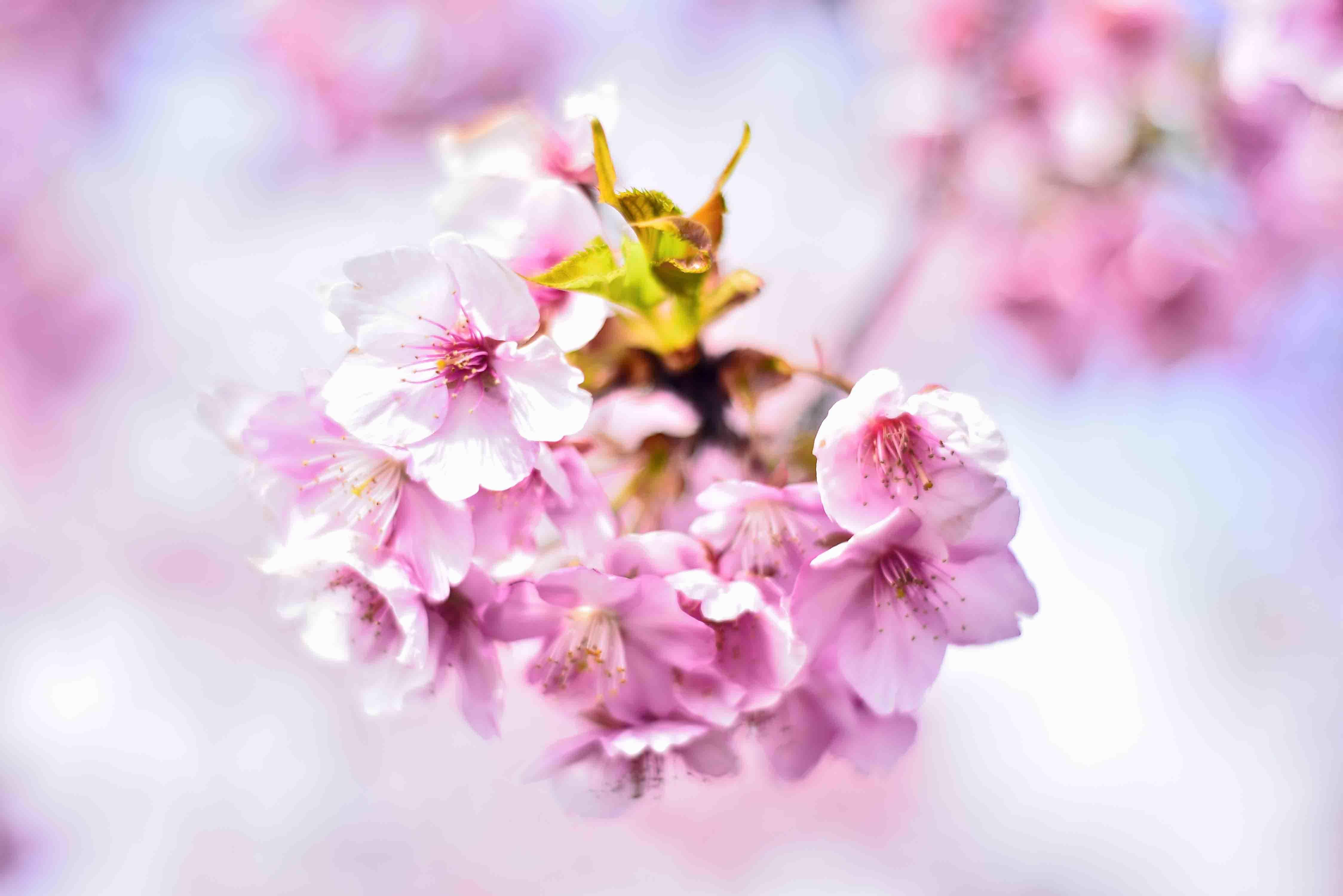スカイ公園の桜3