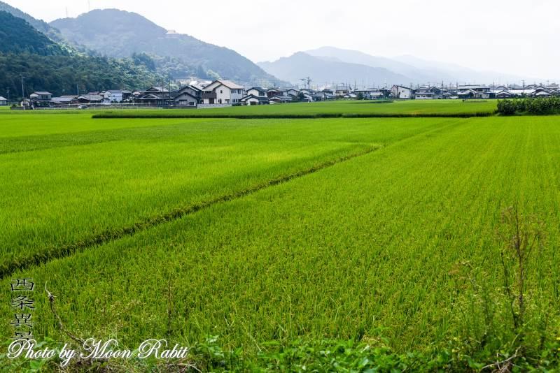 稲田 愛媛県西条市