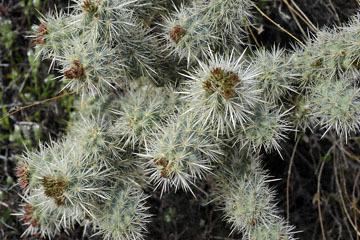 blog (6x4@300) Yoko 10 Joshua Tree NP, Cottonwood side Entrance, Cactus, CA_DSC7815-3.26.19.jpg