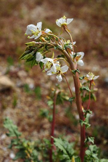 blog (4x6@300) Yoko 10 Joshua Tree NP, Cottonwood side Entrance, Brown-eyed Primrose (Chylismia claviformis), CA_DSC7811-3.26.19.jpg