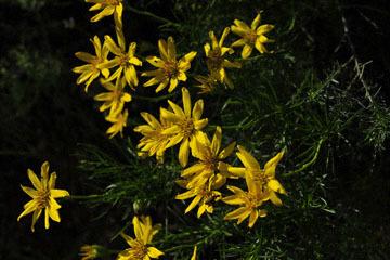 blog (6x4@300) Yoko 22 Del Puerto Canyon, Interior Goldenbush (Ericameria linearifolia), CA_DSC9793-4.7.19.jpg