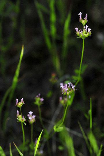 blog 22 Del Puerto Canyon, Longspur Plectritis (Plectritis ciliosa ssp. ciliosa), CA_DSC9794-4.7.19.jpg