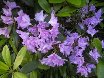 blog CP Mendocino, Stanford Inn, Rhododendron_DSCN3187-6.4.19.jpg