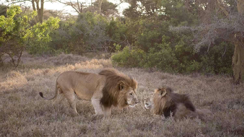 SOLIO-LODGE-Lions-at-solio.jpg