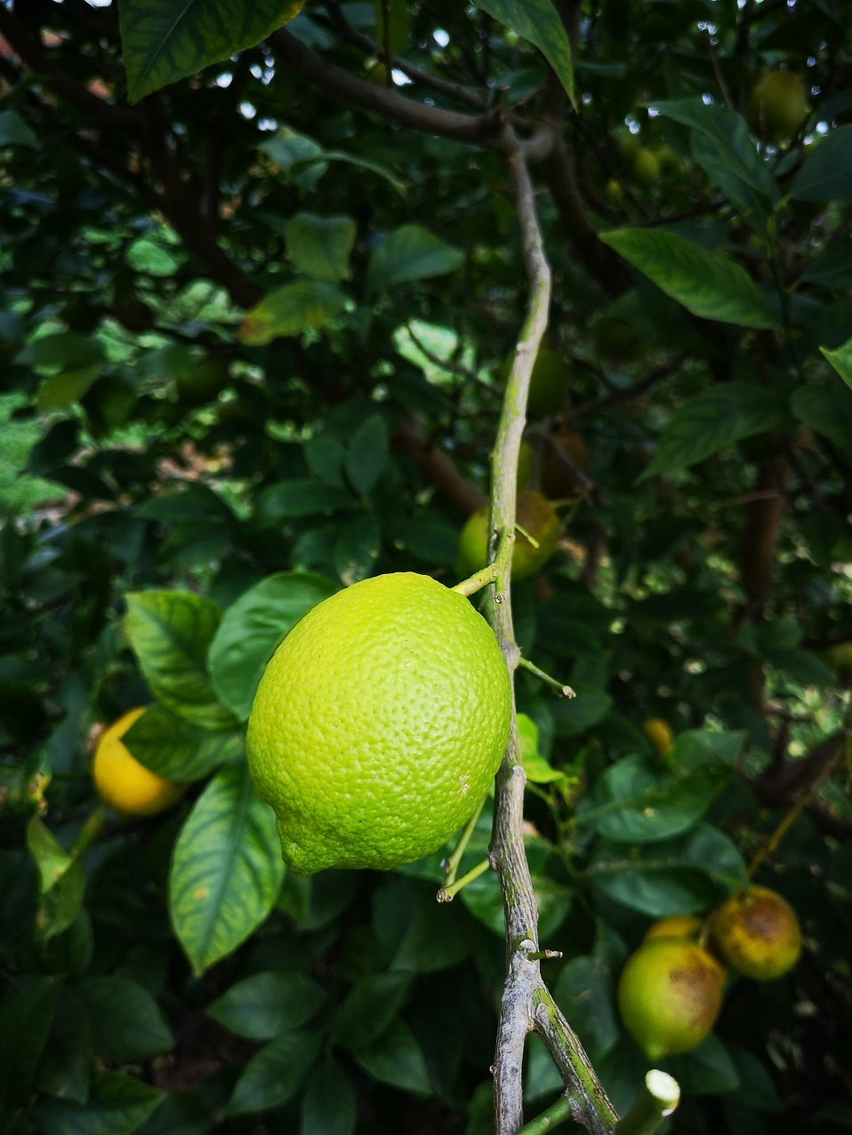 s_20191127_lemon_onoue (7)
