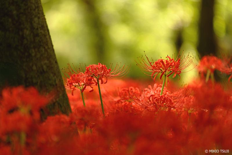 絶景探しの旅 - 1089 野川公園の彼岸花 (東京都 小金井市)