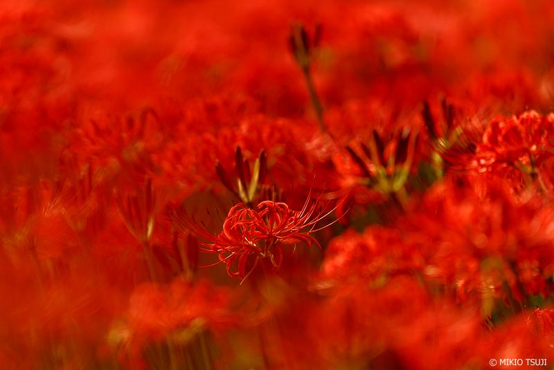 絶景探しの旅 - 1091 彼岸花の赤いカーペット (野川公園/東京都 小金井市)
